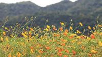 Fleurs de cosmos orange et jaune se balançant dans la brise