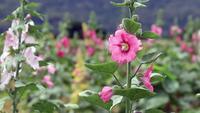 Rosa Blume, die weht