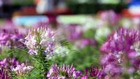 Flores de aranha roxa-rosa