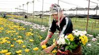 Asian hill-tribe woman is working in flower farm to collect product.