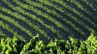 Rangées de vignes au soleil