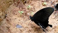 Gros papillon noir a atterri sur le sable