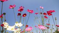 Fleurs de cosmos roses et violettes blanches.
