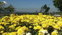 Yellow chrysanthemum flower in wind.