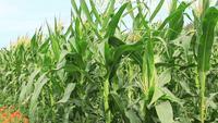 Large champ de maïs.
