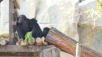 Famille d'orang-outan mangeant de la nourriture.