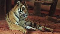 Un tigre en el bosque.