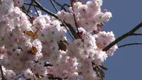 Pfirsichblumen auf einem Baum