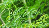 Moringa-Baum und grüne Blätter