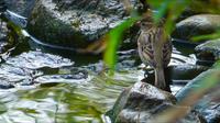 Sparrow ayant un bain