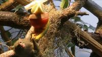 El mono come frutas