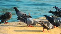 Pigeons près de la mer