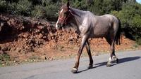 Brown Colored Old Horse is Walking