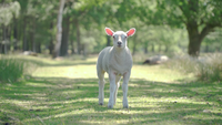 Cute lamb standing in a field looking at the camera