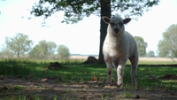 Nettes Lamm, das Gras in der schönen Natur isst