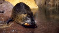 En kapybara äter en morot