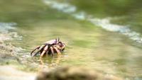 Un petit crabe mangeant des algues sur le rivage