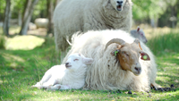 Cute Lamb resting against his mother