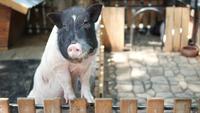 Cerdo de corral en una granja.