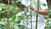 Granjero de sexo femenino en la granja de judías verdes con tableta.