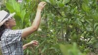 Granjera asiática y un limonero orgánico