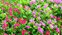 Pink and Red Madagascar Periwinkle Flowers and Green Leaves
