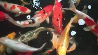 Carpes fantaisie nageant dans un étang