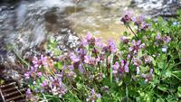 Lamium nära A Creek