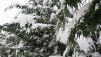 Abetos nevados em uma visão de close-up