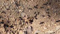 Fourmis autour d'une fourmilière