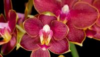 Blühende rote Orchidee Phalaenopsis Blumen