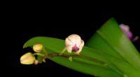 Blühende weiße Orchidee Phalaenopsis Blumen