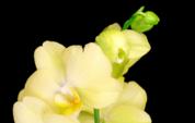 Fleurs de Phalaenopsis orchidée jaune en fleurs