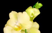 Blühende gelbe Orchideen-Phalaenopsis-Blumen