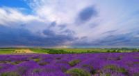 Pluizige wolken boven een lavendelveld