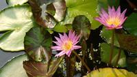 Lotus bei Tageslicht