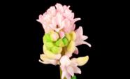 Hyacint bloem groeiende timelapse