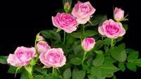 Rosa Rosen wachsen