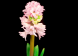 Growing and Opening Pink Hyacinth Flower on Black Background