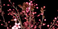 Flores cor de rosa desabrochando nos galhos de uma cerejeira