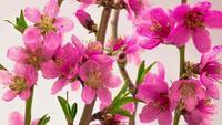 Fleurs de cerisier rose en fleurs