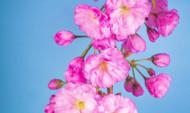Fleurs d'arbre rose Sakura avec un fond bleu