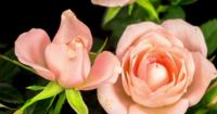 Apertura de flores rosas