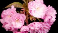 Öppnar rosa Sakura blommor