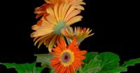Orange Gerbera Blumen wachsen und öffnen