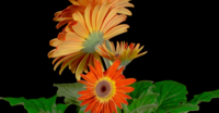 Growing and Opening Orange Gerbera Flowers