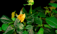 Apertura de rosas amarillas