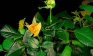 Gelbe Rosen öffnen
