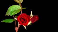 Ouverture des roses rouges