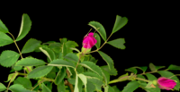 Dog-Rose Flower Blooming in A Black Background